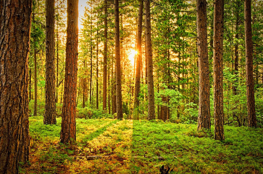Sunlight filters through the tress in a plantation forest